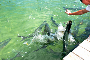 Feeding Tarpon at Robbie's Marina • Photo by Mary Ann DeSantis