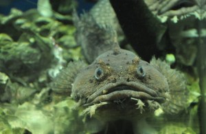 A Toadfish at the Florida Aquarium • photo by Mary Ann DeSantis