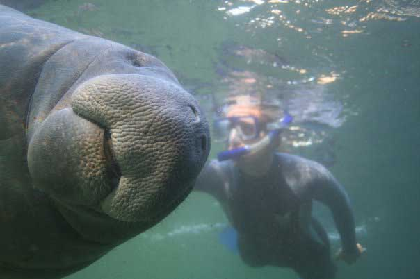 manatee-smiley-face