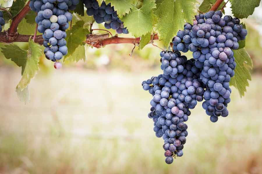 Que Syrah, Shiraz… What will your wine be?